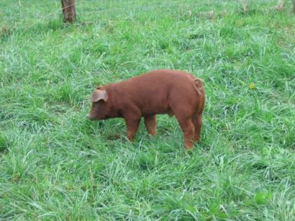 Pasture raised pig